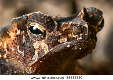 crested toad at night in Bolivian rain forest amphibian macro portrait animal camouflage colors