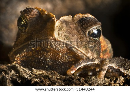 crested toad hiding in Brazil nut shel tropical rain forest toad in amazon rainforest grumpy looking amphibian in exotic jungle