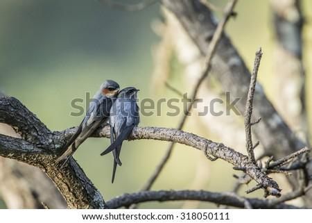 Crested treeswift in Ella,Sri Lanka ; specie Hemiprocne coronata - stock photo