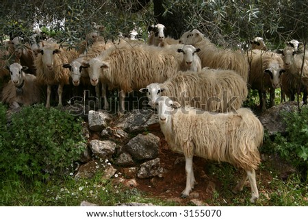 Crete sheep in the midday - stock photo