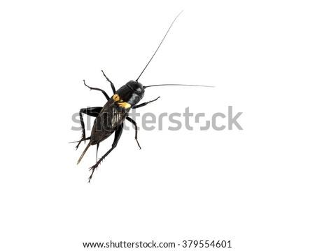 Cricket Black insect backside isolated on white background   - stock photo