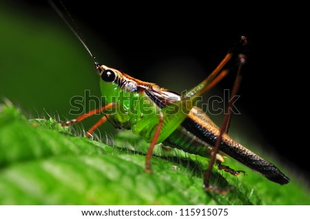 Cricket finding a meal at night on green leaf - stock photo