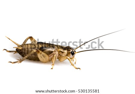 cricket - Gryllus assimilis - feeding insects