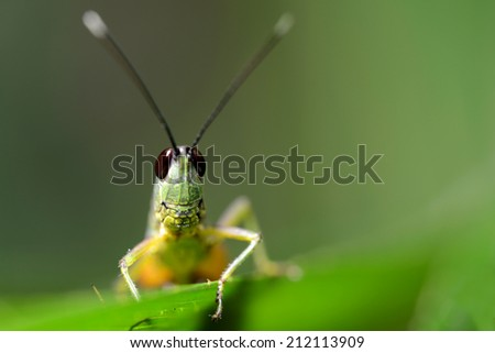 Cricket insect head - stock photo