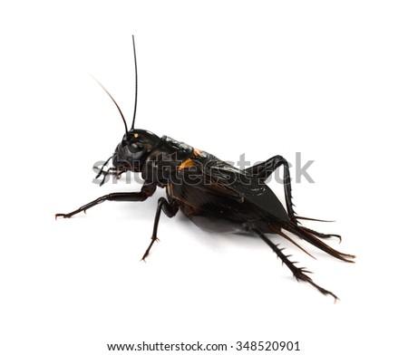 cricket isolated on white background - stock photo