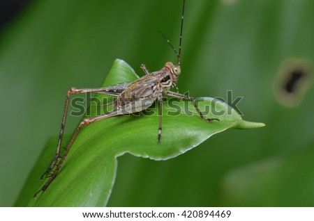 Cricket on green leaf  - stock photo