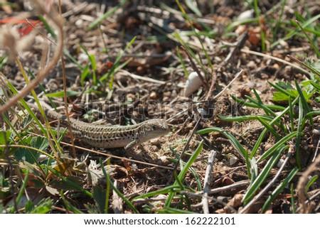 Crimean lizard in the green grass - stock photo