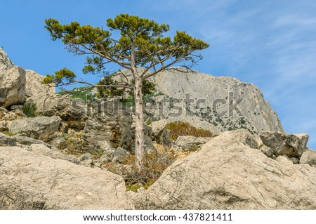 Crimean pine (Pinus brutia) on the coast with a mountain of Kush-Kaya in the background.