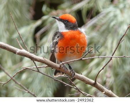crimson chat - stock photo