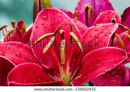 Crimson colored daylily covered in raindrops - stock photo