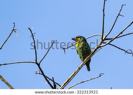 Crimson-fronted barbet in Ella, Sri Lanka ; specie Psilopogon rubricapillus - stock photo