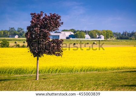 Crimson King maple contrasting with a field of canola in rural Prince Edward Island, Canada - stock photo