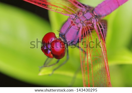 Crimson Marsh Glider dragonfly detail of head and thorax - stock photo