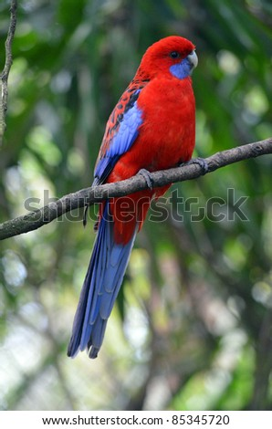 crimson Rosella - stock photo