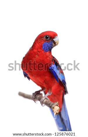 Crimson Rosella (Platycercus elegans) on white background. - stock photo