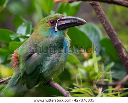 Crimson-rumped toucanet in tropical forest.