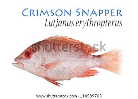 Crimson Snapper. Unsharpened file. - stock photo