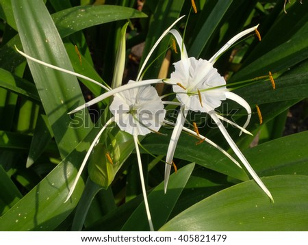 Crinum Lily, Cape Lily, Poison Bulb, Spider Lily - stock photo