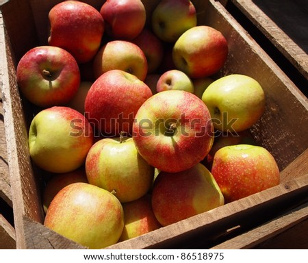 Crisp, fresh apples from the farm in a wooden crate in the sunshine. - stock photo