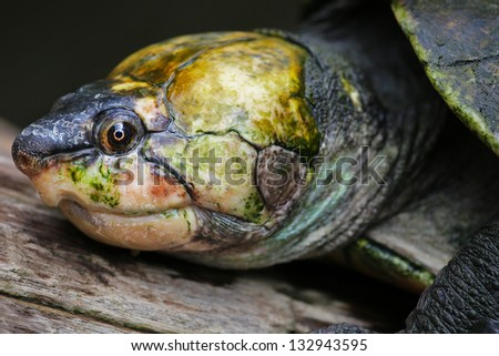 Critically ENDANGERED Madagascan big-headed turtle (Erymnochelys madagascariensis) floating and basking on a log in wilds of Madagascar. Adult male. (13th most endangered turtle in the world.) - stock photo