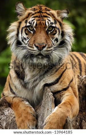 Critically Endangered Sumatran Tiger - stock photo