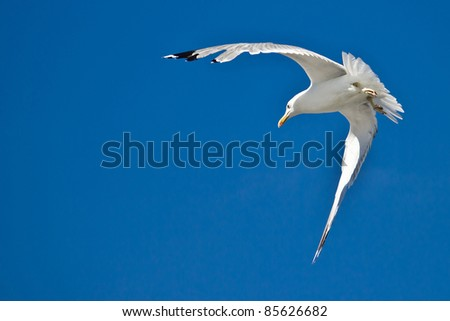 Croatian sea gull flying  with blue sky in background - stock photo