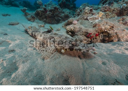Croccodilefish in the Red Sea