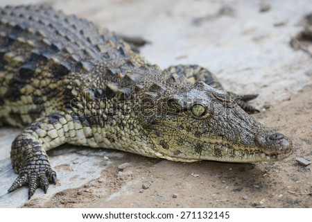 Crocdile with scaly skin and round green eye and teeth protruding from its mouth - stock photo
