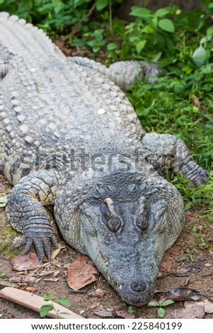 crocodile - stock photo