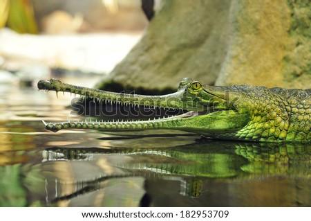 crocodile alligator caiman - stock photo