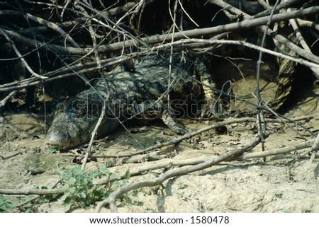 Crocodile - Amazon Basin - stock photo