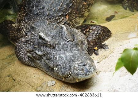 Crocodile at   alligator creeks - stock photo