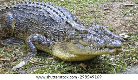 crocodile, australia - stock photo