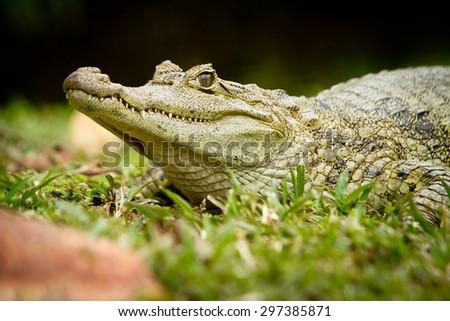 Crocodile between land and water focus on eye - stock photo