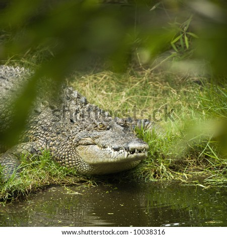 Crocodile by water edge in Australia. - stock photo