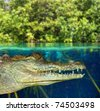 Crocodile cayman swimming in mangrove swamp up down waterline [Photo Illustration] - stock photo