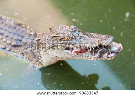 Crocodile eating fish - stock photo
