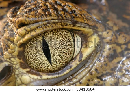 Crocodile eye - stock photo