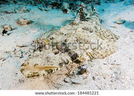 Crocodile fish - stock photo