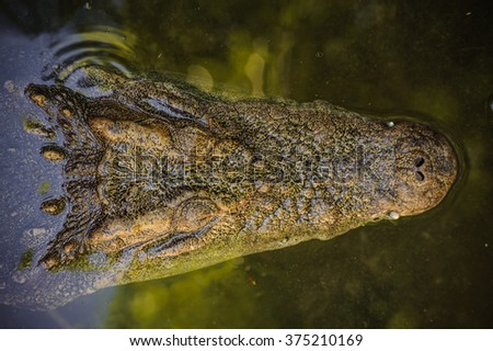 Crocodile floating in the water view from the top - stock photo