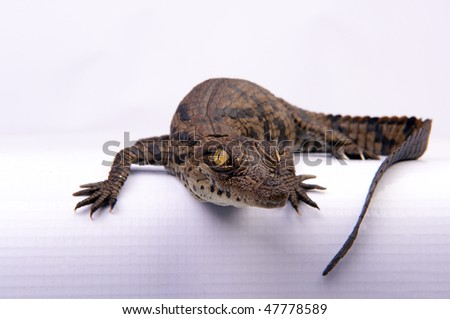 Crocodile Hatching - stock photo