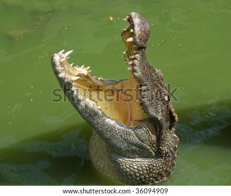 Crocodile head in the river water - stock photo