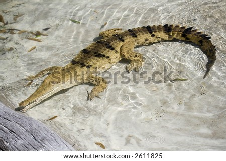 crocodile in a clear pond