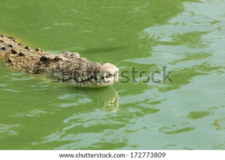 crocodile in pond water.  - stock photo