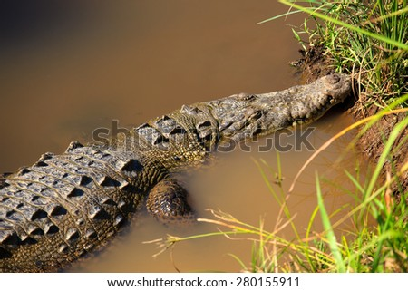 Crocodile in river on the rain forest. - stock photo
