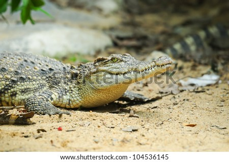 Crocodile in Thailand Farm - stock photo
