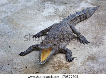 Crocodile in the farm. - stock photo