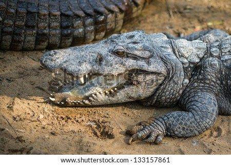 Crocodile in the Indian Reserve