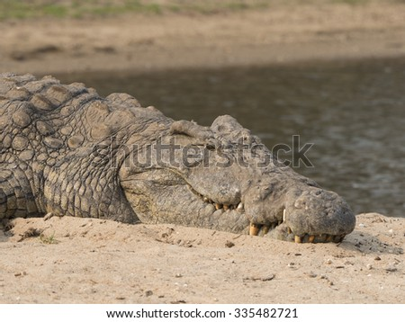 crocodile in the Malawi park   - stock photo