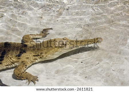 crocodile in the water